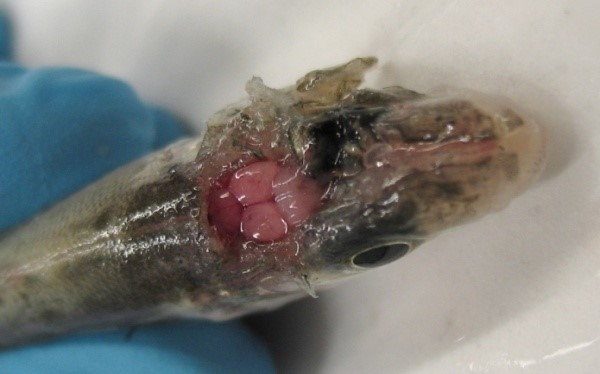 Chronic VNN in sea bass